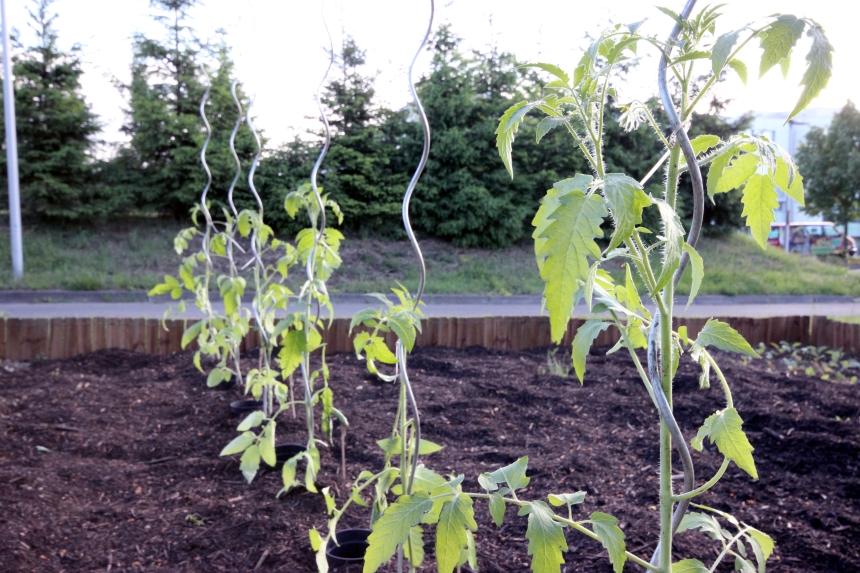 Ob Tomaten, Salate oder Kohl - im Uni-Garten findet jedes Gemüse einen schönen Platz an der Sonne. Foto: Adrian Müller