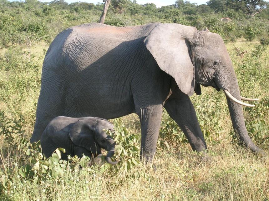 Einmal einen Elefanten aus der Nähe sehen: Auch wegen seiner faszinierenden Tierwelt ist Botswana ein begehrtes Ziel für ein Auslandssemester. Foto: Pütz