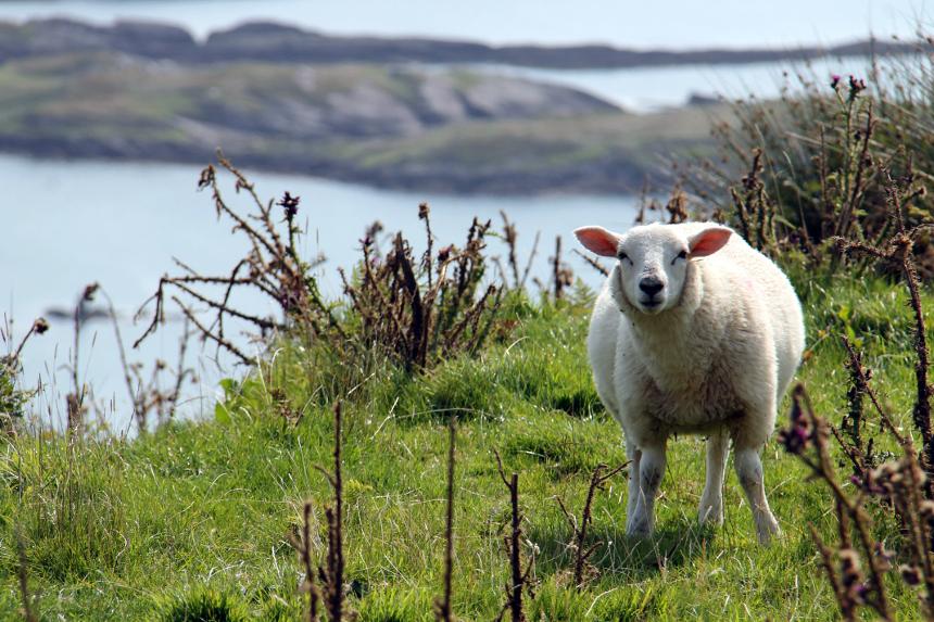Irland - Das Land der Schafe.