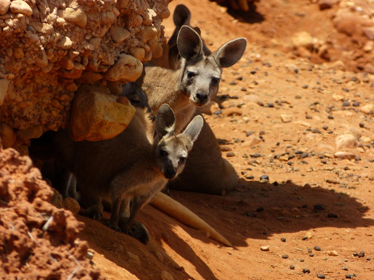 Der wohl berühmteste Einwohner des Landes: das Känguruh.