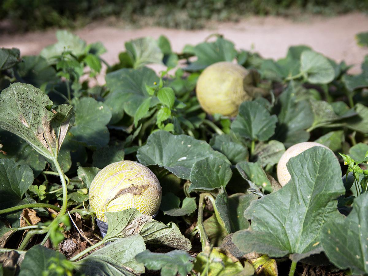 Auch Exotisches wie Melonen wächst im studentischen Garten.