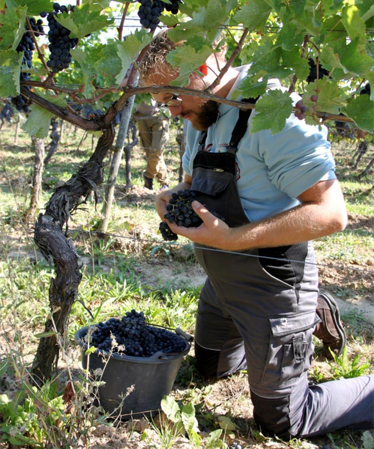 Mit Hingabe und Geduld liest Behrendt die Trauben des Portugieser Rotweins.
